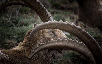 Steenbok, oog van Dominik Imhof