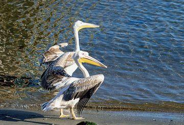 zwei Pelikane am Strand von Namibia von Merijn Loch