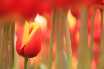 Small tulip van