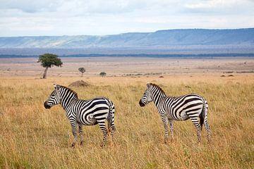 Zebras in der Masai Mara von Angelika Stern