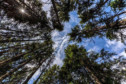 De grote reuzen in het bos van