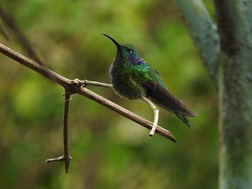 Kolibrie in Costa Rica van Daniëlle van der meule