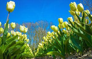 Bollenveld met gele tulpen