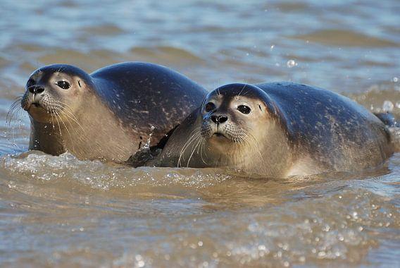 Zeehonden van Mark Bolijn