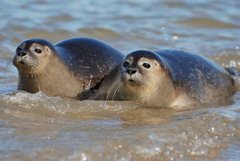 Zeehonden in Zeeland van Mark Bolijn