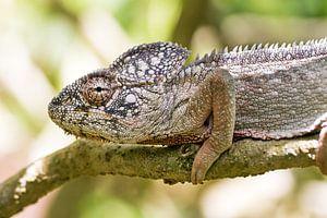 Reuzenkameleon portret van