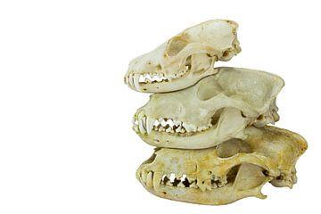 Honden en vossen schedels op elkaar van Ben Schonewille