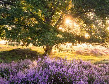 Blühendes Heidekraut und alte Eiche von Rick Kloekke