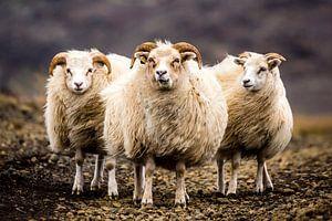 IJslandse schapen van Caroline De Reus