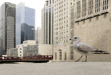 Ringsnavelmeeuw in Chicago van Jacintha Van beveren