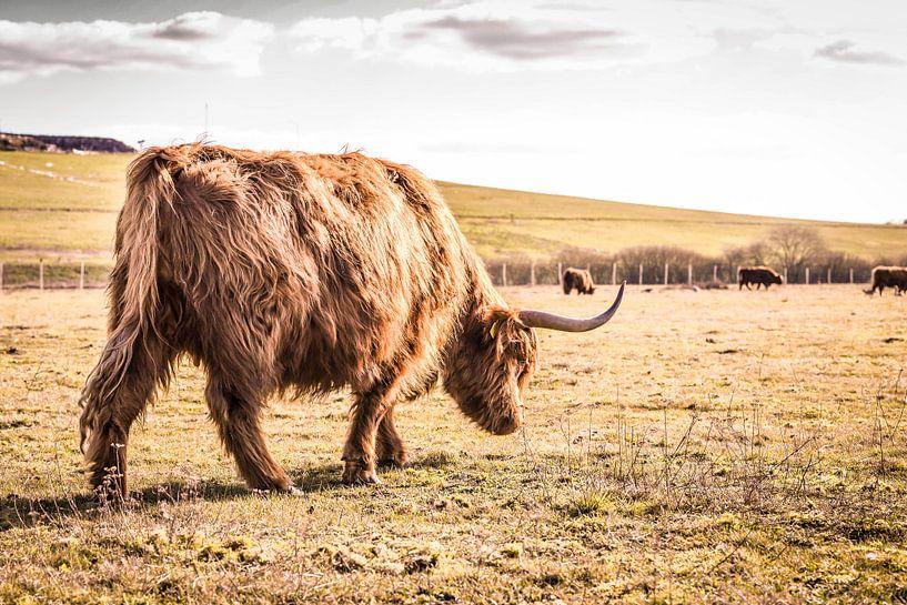Schotse hooglander in Brabant van Floris Oosterveld