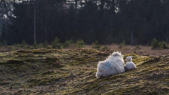 Schaap met lam