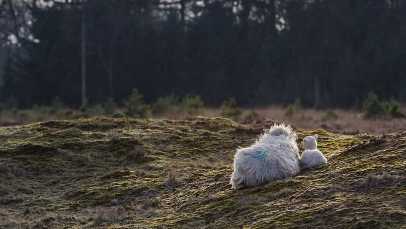 Schaap met lam van Martzen Fotografie