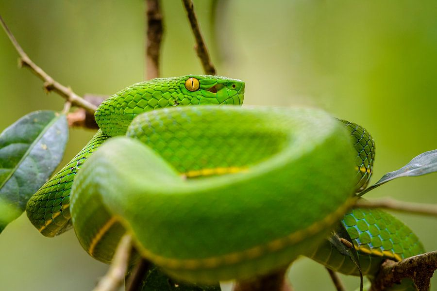 Groene adder van Richard Guijt