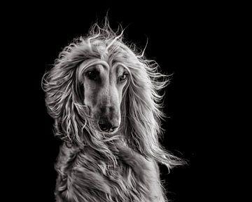 Afghaanse windhond (zwart-wit) van Nuelle Flipse