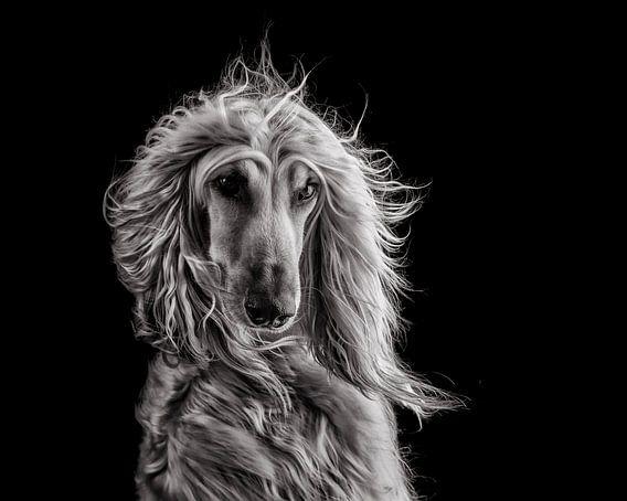 Afghan hound (B&W)
