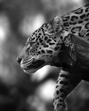 Jaguar femelle en noir et blanc sur Patrick van Bakkum