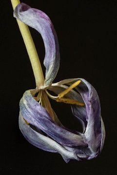 Uitgebloeide, verdorde tulp van Anne Ponsen