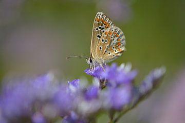Vlinder in een zee van paars