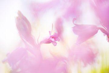 Roze boshyacint van Francis Dost