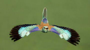 Vliegende Scharrelaar in Hongarije von