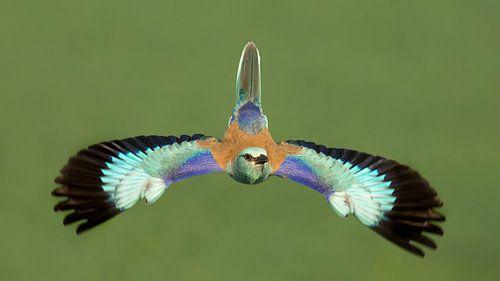 Vliegende Scharrelaar in Hongarije van