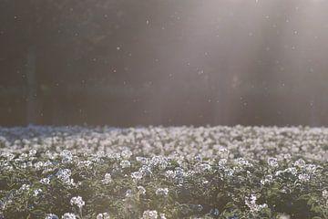 Aardappelveld in bloei 2 von Manon Sloetjes