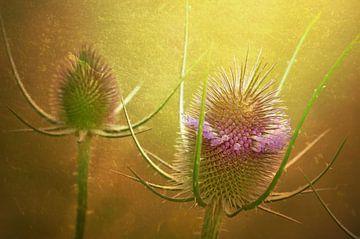 Prickly sur zwergl 0611