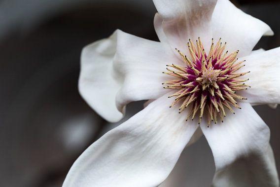 Magnoliabloem