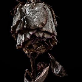 De geboorte van een roos van Steven Dijkshoorn