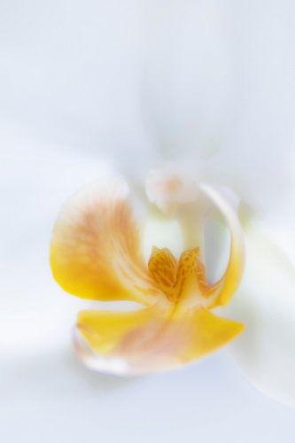 Phalaenopsis orchidee van Pieter van Roijen