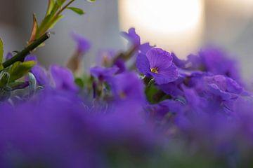 paarse bodembedekker van Tania Perneel