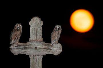 Twee jonge Ransuilen op een kruis met oranje zon von AGAMI Photo Agency