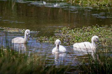 Jonge zwanen op het water van Marcel Alsemgeest