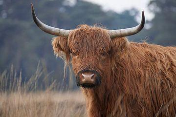 Schotse Hooglander kijkt recht in de lens van Cor de Hamer