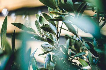 Olijfboom in bloei van Daphne Groeneveld