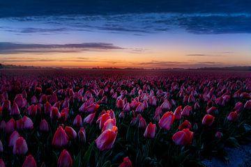 Zulpenveld voor zonsopgang