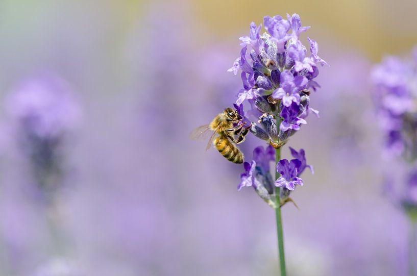 Lavendel und Biene von Mark Bolijn