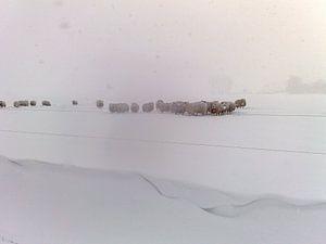Schapen in de sneeuw van