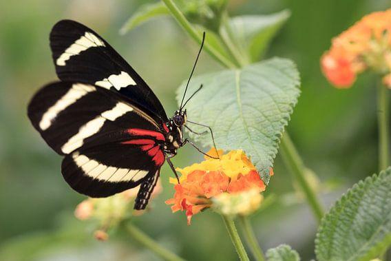 Vlinder (Heliconius melpomene) - De Postman van Tim Abeln