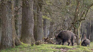 Wild zwijn aan de bosrand van Bas Ronteltap