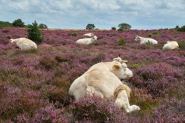Rinder auf der Heide von Ad Jekel