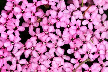 Roze bloemen van de stengelloze silene in Zwitserland sur Dennis van de Water