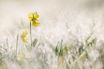 zinkviooltjes in de ochtenddauw van Francois Debets