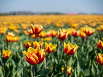 rood en gele tulpen van Chris Es, van