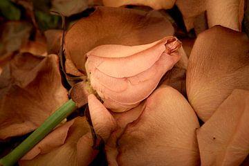 Verwelkte roos op een bed van bloemblaadjes van Jenco van Zalk