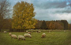 Schafherde im Herbst von Dieter Beselt