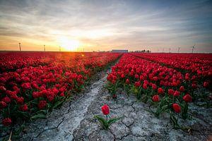 Une tulipe en vrac pour un champ de tulipes rouges dans le Flevoland