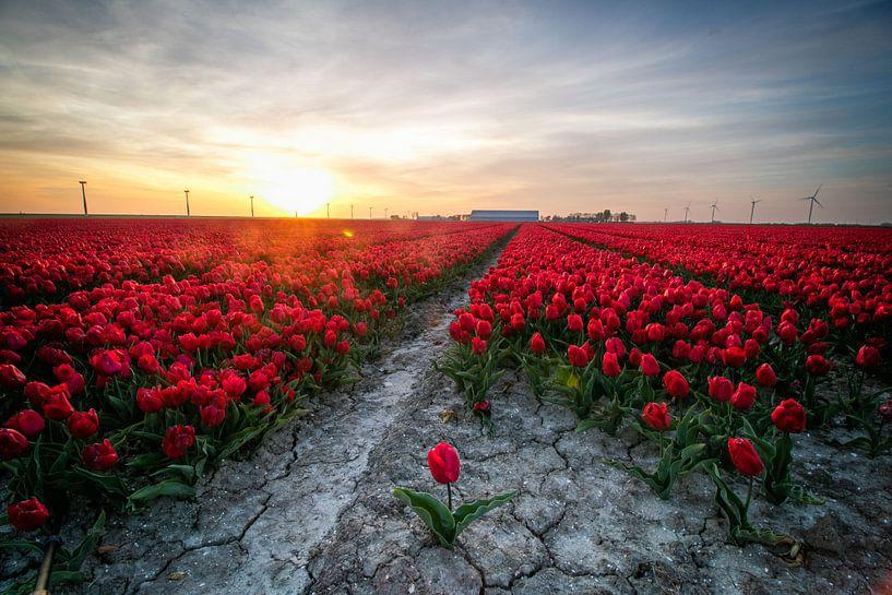 Une tulipe en vrac pour un champ de tulipes rouges dans le Flevoland sur Arthur Puls Photography