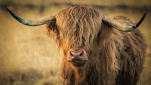 Schottischer Highlander (Waddie) von Mark van der Walle